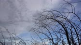 Dry branches on sky background that are moving because of strong winds Dostupné videozáznamy