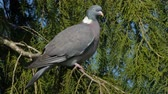 turtledove : pigeon perching on a branch Stock Footage