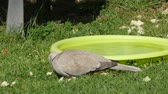 turtledove : Pigeon eating a bread on the grass Stock Footage
