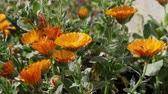 officinalis : marigold (Calendula officinalis) flower in the summer garden