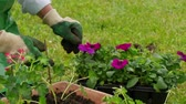 woman potting geranium flowers