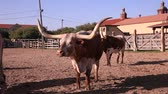coltivazione : Longhorn cattles in un ranch in Texas, Stati Uniti Filmati Stock