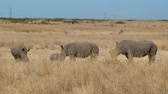 rhino poaching : Rhino family with babies without horn. Endangered specie due to poaching. South Africa.