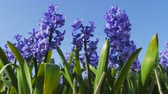 hinta : Blue purple hyacinths blossom in spring in the open ground in a growers field. Flowers are moved by wind.