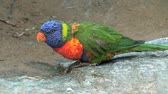 afrika : Very close up of a Rainbow Lorikeet Parrot in South Africa