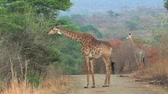 afrika : Giraffe in Hluhluwe Game Reserve, South Africa