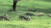 afrika : Stripped Mongoose & Vervet Monkeys in Chobe National Park, Botswana Dostupné videozáznamy