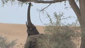 vegetação : Desert Elephants with a scarcity of vegetation & water in Namibia  Vídeos