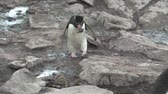 tollazat : Rockhopper Penguin in the Falkland Islands