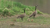 pintos : Two Canadian geese with gosling on the Missouri River in Montana, USA