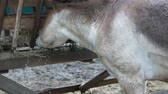 horse face : donkey eating hay on the farm Stock Footage