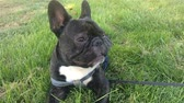 animal dog French bulldog lying in green grass
