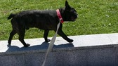 pet dog French bulldog walking on a leash in the city