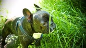 animal dog French bulldog eating green grass