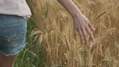 sentir : Kyiv UA, 15-06-2019. Closeup of hand walking girl touching yellow spikelets of wheat in field, golden hour, wheat with droplets of rainwater