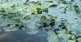 Лилли : Yellow water-lily Nuphar lutea, blooming yellow water lilies, plants in the water at sunset Стоковые видеозаписи