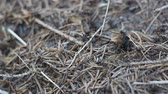 работать : Macro shot of wood ants swarming in their nest made of pine straws