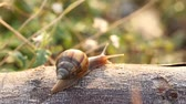 caracol : Snail on wood Stock Footage