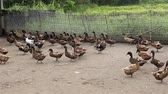 caqui : Domestic Duck in farm