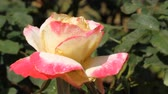 Rose in garden Stock Footage