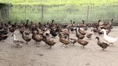 haki : Domestic Duck in farm