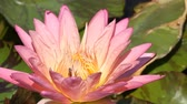 Bee on pink lotus Stock Footage