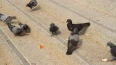 çatışma : Pigeon feeding on concrete. Stok Video
