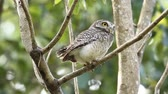 occhi verdi : Spotted owlet on branch tree in park of Thailand. Filmati Stock