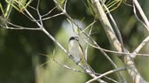 kafa : Burmese Shrike on branch tree in park.
