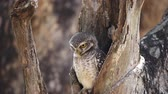 occhi verdi : spotted owlet in hole on tree.