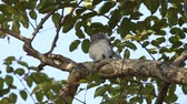 owl : spotted owlet on branch tree.
