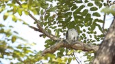 目 : spotted owlet on branch tree.