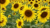 słonecznik : Field of sunflowers that planted in summer. Wideo