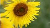 słonecznik : Bee is collecting its food from a sunflower. Wideo