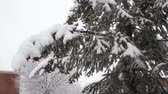 conto : Spruce tree with many cones in a snowstorm. Grey and stormy winter day Vídeos