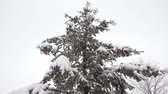 sincelo : Spruce tree with many cones in a snowstorm. Grey and stormy winter day Stock Footage