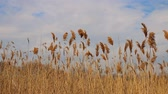 wetland : Reed tips moving in wind during spring with a blue sky