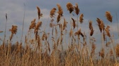 kahverengi : Reed tips moving in wind during spring with a blue sky