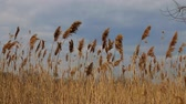 finland : Reed tips moving in wind during spring with a blue sky