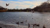 освещение : Gulls, swans, guses and other birds. Danube river