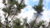 coniferous trees : Fir tree branch with many fir cones move in wind breeze, blue sky Stock Footage