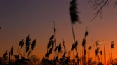 солнечные лучи : sunset sky clouds bulrush close-up of the reed in the wind against at sunset Стоковые видеозаписи