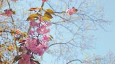 tomurcukları : Beautiful flower cherry Blossom or sakura, Sakura Flower or Cherry Blossom With Beautiful Nature Background, cherry blossom Stok Video