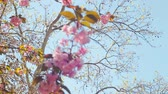 gomos : Beautiful flower cherry Blossom or sakura, Sakura Flower or Cherry Blossom With Beautiful Nature Background, cherry blossom Stock Footage