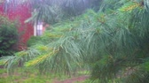 drifting : heavy rain Thuja tree