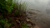 riverbank : Flood river viewed from riverbank. View through trees from the riverbank. Stock Footage