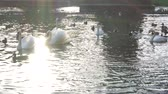 лояльный : Beautiful white swans in water in the green