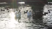 fiel : Beautiful white swans in water in the green