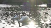 лебедь : Beautiful white swans in water in the green