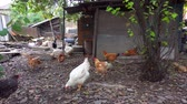 feathering : chickens Stock Footage